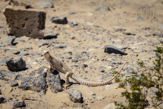 Groovy Lizard